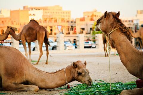 Camels Omar Chatriwala.jpg